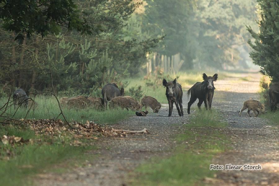 Wildschweine